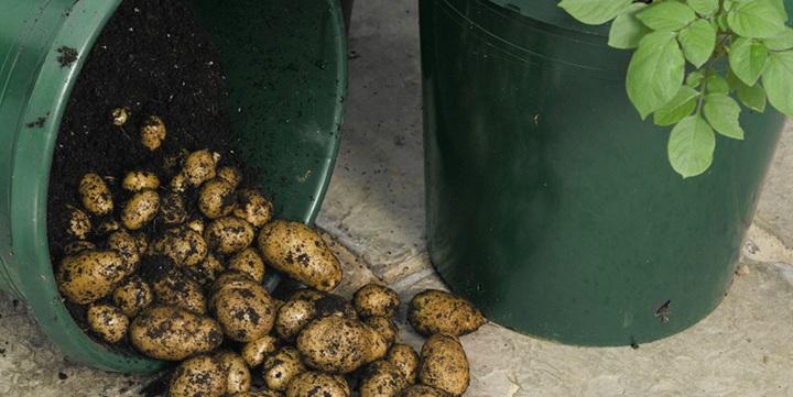 Une tour de pommes de terre dans son petit jardin potager