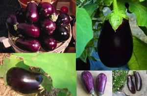 This image has an empty alt attribute; its file name is Aubergines-potager-300x197.jpg