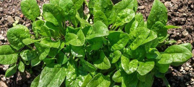 Conseils sur comment faire pousser des épinards dans son potager