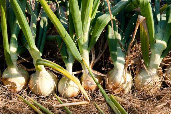 Cultiver des oignons – des conseils sur comment faire pousser des oignons
