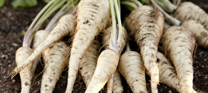 Cultiver des Panais  – des conseils sur comment faire pousser des panais