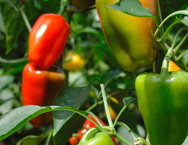 Cultiver des poivrons – des conseils sur comment faire pousser des poivrons