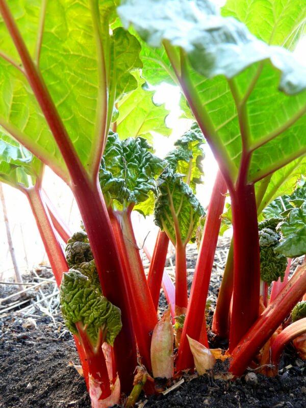 Cultiver la Rhubarbe – des conseils sur la façon de faire pousser la rhubarbe