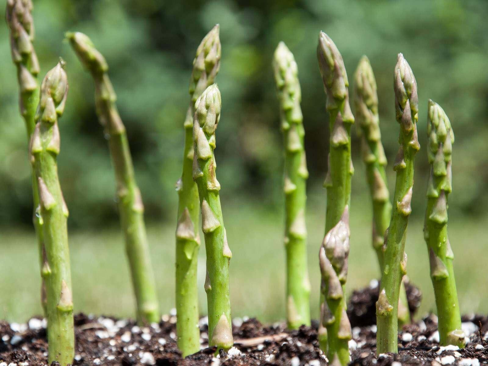 Comment Planter Des Asperges comment faire pousser les asperges, astuces pour cultiver