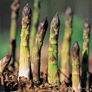 cultiver des asperges potager 300x300 photo