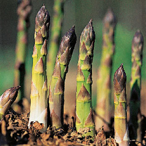 comment faire pousser les asperges astuces pour cultiver les asperges le potager. Black Bedroom Furniture Sets. Home Design Ideas
