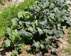 salade jardin potager jpg photo