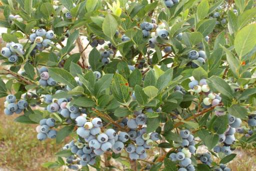 back field blueberries