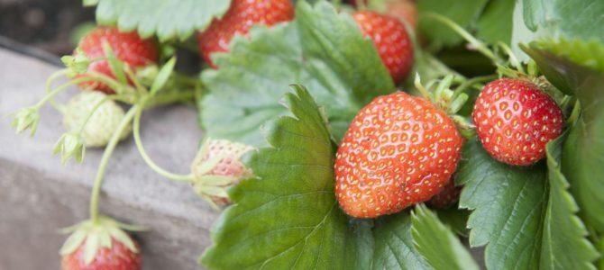 Comment faire pousser des fraises?