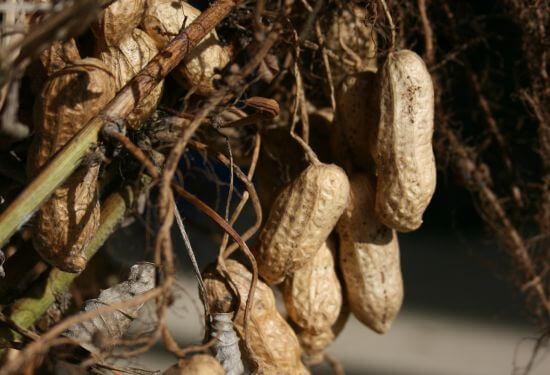 cacahuètes potager récolte
