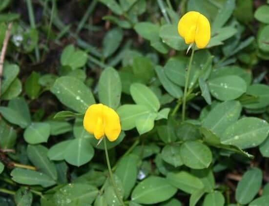 fleur et plante de cacahuète