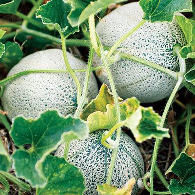 melon potager