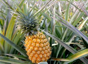 ananas potager