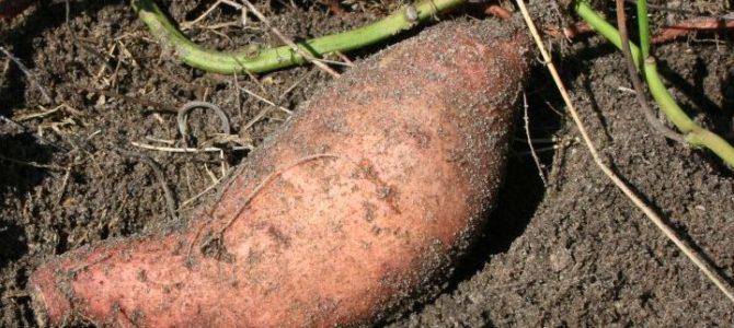 Comment faire pousser de la patate douce dans son potager?