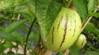 Comment faire pousser un pepino à partir d'une graine