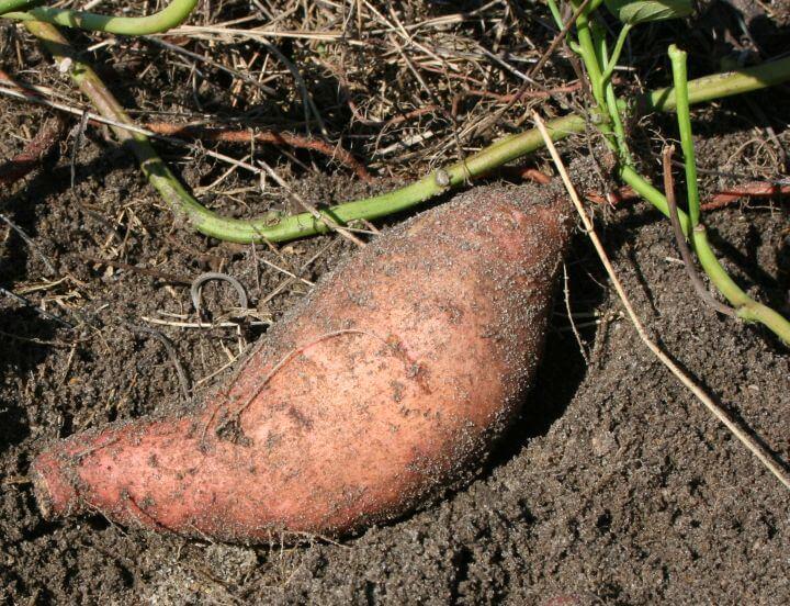 patate douce potager