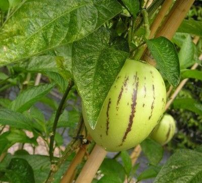 pepino fruit graine potager
