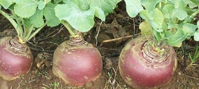 Comment faire pousser des rutabagas à partir de graines