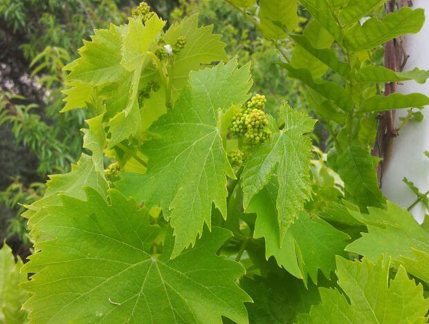 vignes potager grappe de raisins