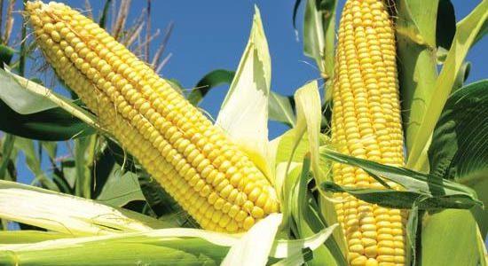 Comment faire pousser du maïs dans son jardin