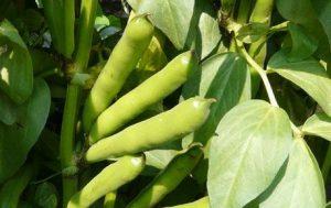 fèves plante potager