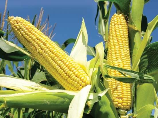 maïs plant potager