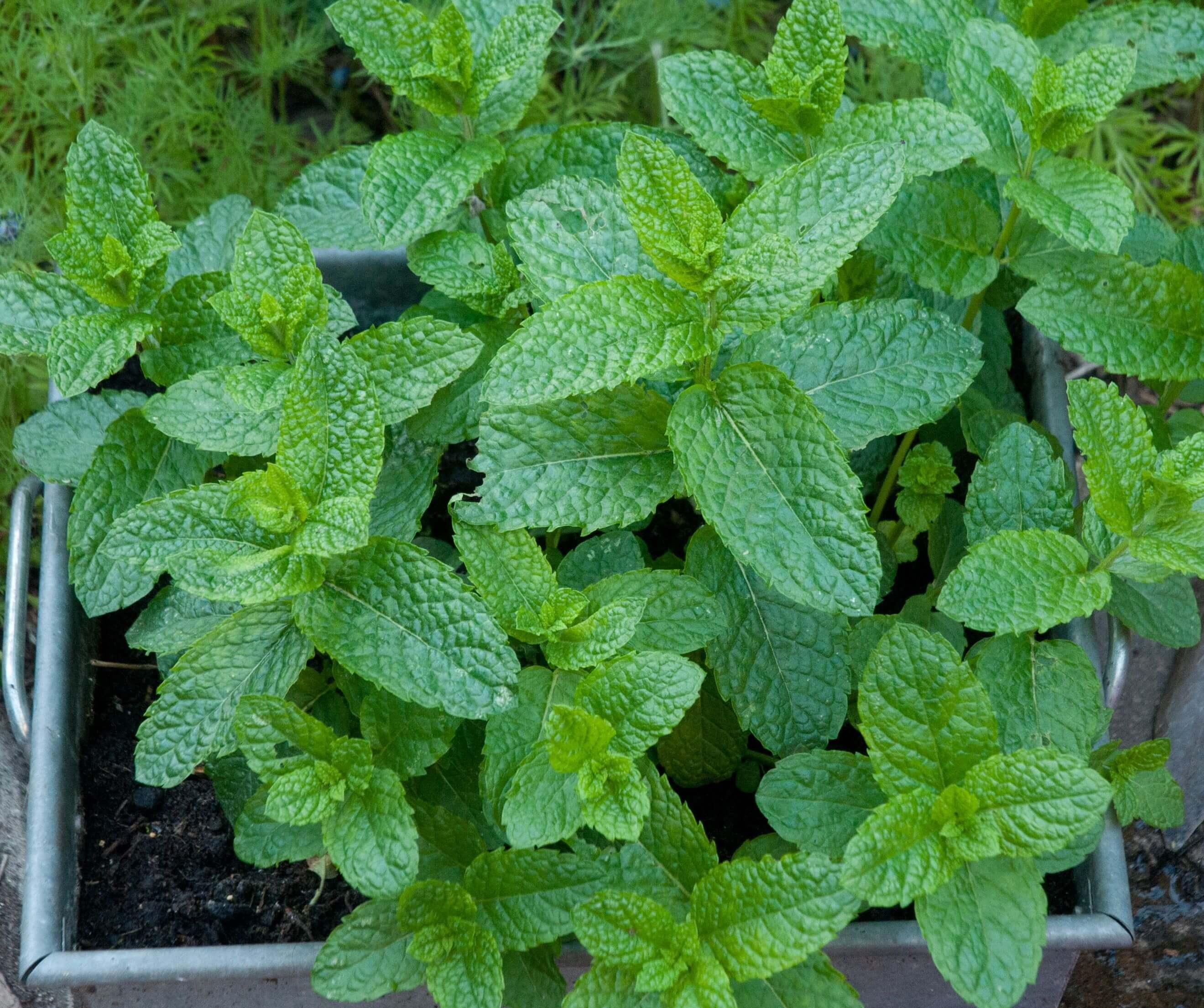 Planter Menthe En Pot comment faire pousser de la menthe à partir de boutures | le