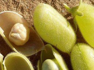 pois chiche potager jardin graines