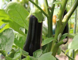 aubergine pot