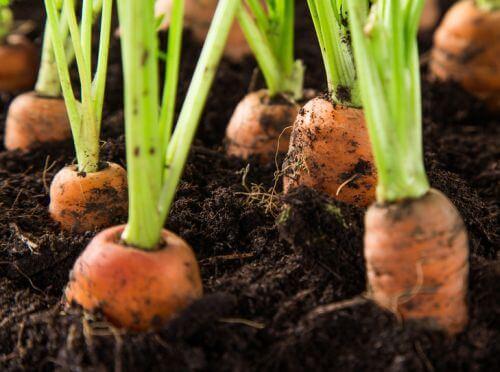 carottes potager
