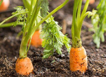 carrotte pousser