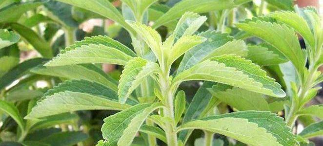 Comment faire pousser de la stévia dans votre jardin
