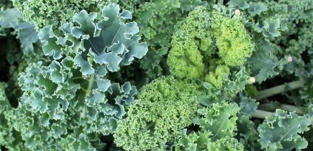 Comment faire pousser du chou kale à partir de graines