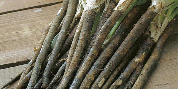 Comment faire pousser des scorsonères à partir de graines