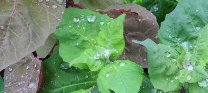 Comment faire pousser l'arroche des jardins