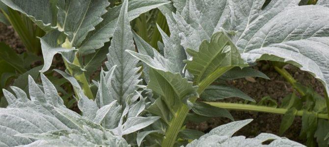 10 légumes anciens et oubliés à faire pousser dans votre jardin