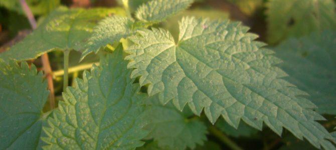 Conseils pour faire pousser des orties dans votre jardin