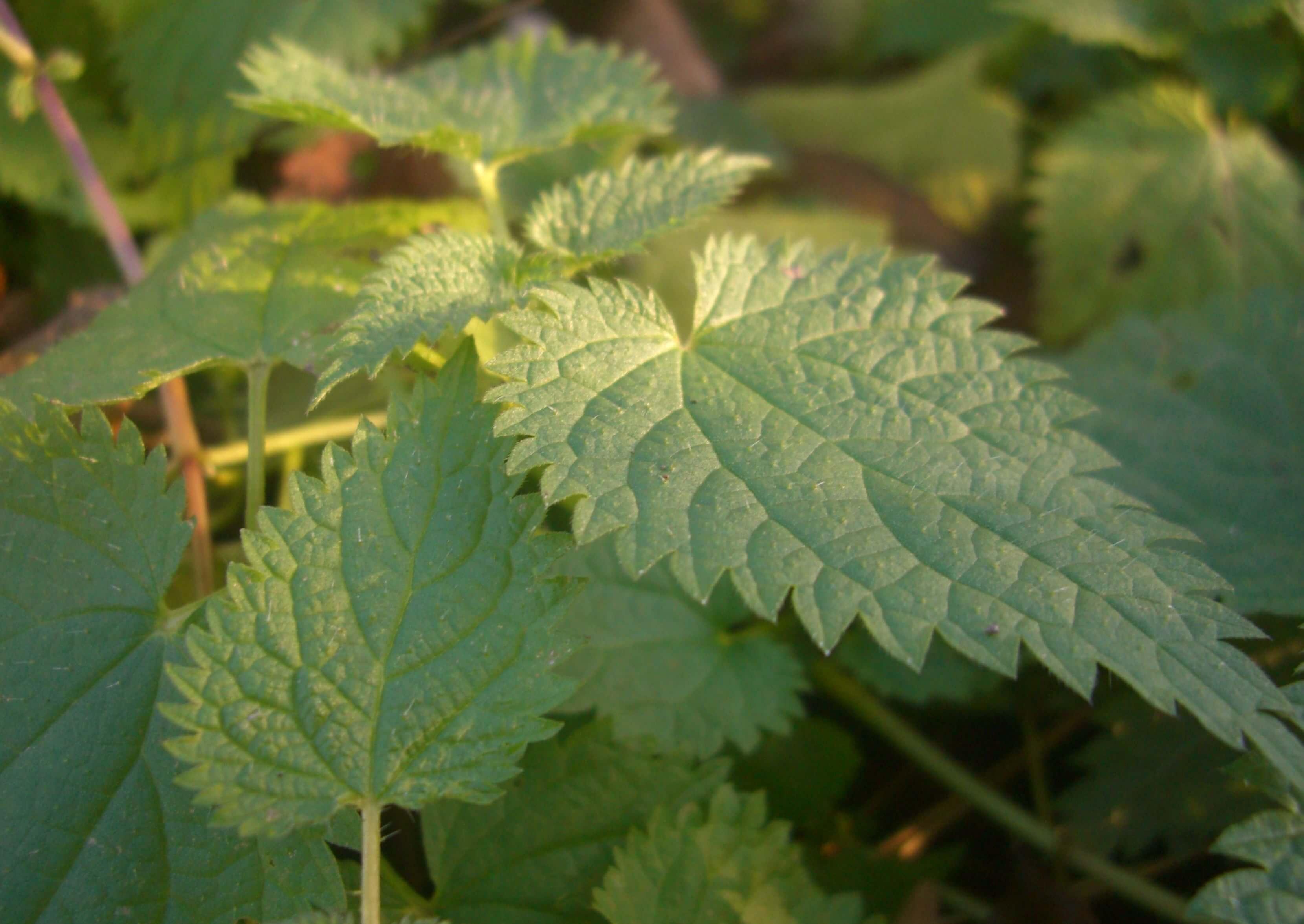Comment Planter Les Graines De Persil conseils pour faire pousser des orties dans votre jardin