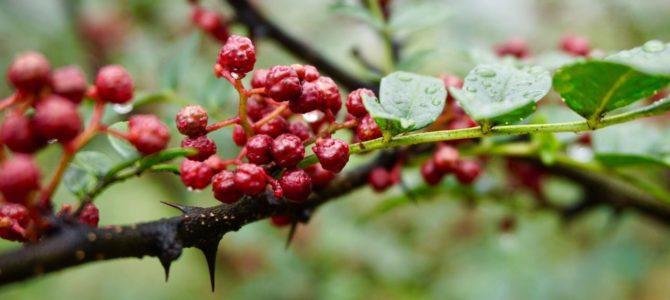 Comment faire pousser du Poivre de Sichuan à partir de graines?