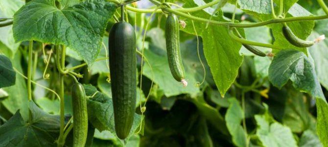 Les Concombres  – des conseils sur comment faire pousser des concombres