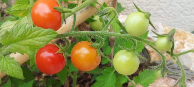 Comment faire pousser des tomates cerises ou tomates cocktails