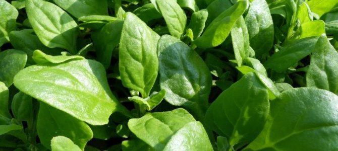 Comment faire pousser de la Tétragone cornue (épinard de Nouvelle-Zélande )