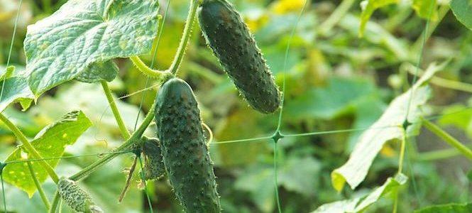 Quoi planter en milieu d'été pour une récolte en automne