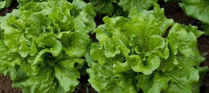 Liste des légumes et herbes que l'on peut cultiver à l'ombre