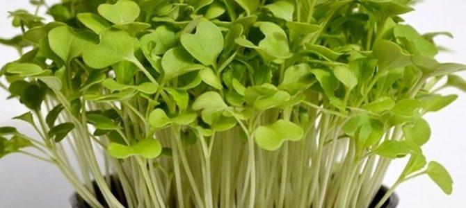 10 Microgreens, micropousses ou graines germées à cultiver
