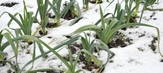 6 légumes d'hiver que vous pouvez cultiver dans la neige