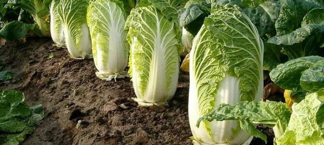 23 légumes asiatiques que vous pouvez faire pousser dans votre potager