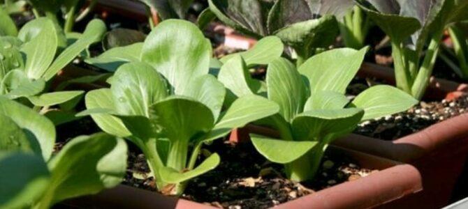 18 légumes d'automne à croissance rapide à planter dans des conteneurs