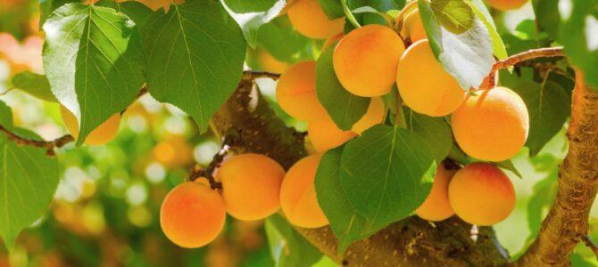 Comment faire pousser un abricotier à partir d'un noyau d'abricot