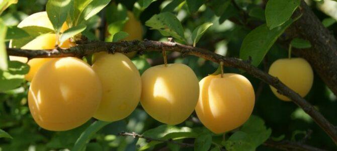 Comment faire pousser un prunier à partir d'un noyau de prune